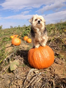 pumpkin small dog