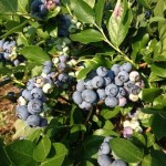 blueberries_1798