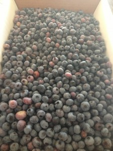 bushel_of_blueberries