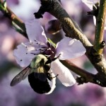 close up bee on peach blossom