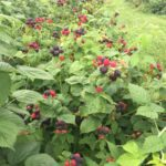 black raspberries 2 rsz.JPG